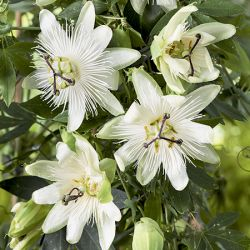 3ft White Passion Flower | 3L Pot | Passiflora 'Snow Queen'