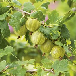 Hinnonmaki Green' Gooseberry Bush | Bare Root