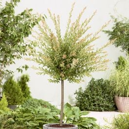 4ft Flamingo Willow | 9L Pot | Salix integra 'Hakuro Nishiki'