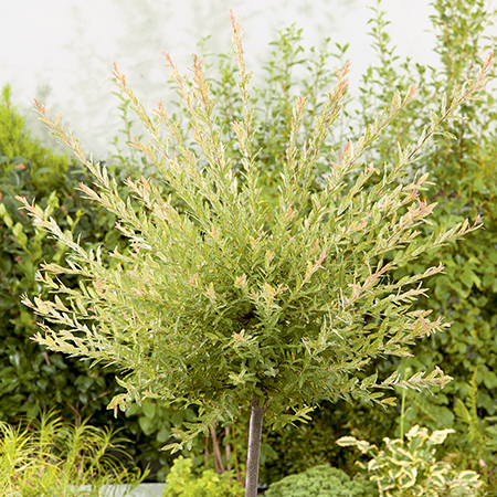 4ft Flamingo Willow - Salix integra 'Hakuro Nishiki'