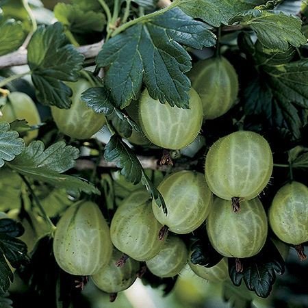 1ft 'Invicta' Gooseberry Bush | 3L Pot