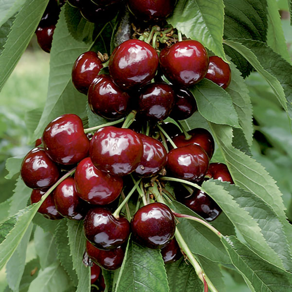 5ft 'Van' Cherry Tree | Colt Semi Vigorous Rootstock  | 9L Pot