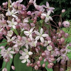 Clematis Armandii 'Apple Blossom' - 2.5L Pot