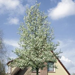 5ft Ornamental Pear Tree | Bare Root | Pyrus Chanticleer