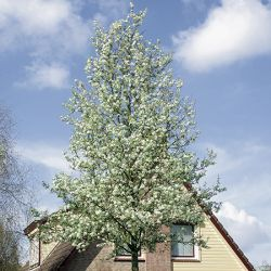 Ornamental Pear Tree 12L Pot - Pyrus calleryana Chanticleer By Frank P Matthews™