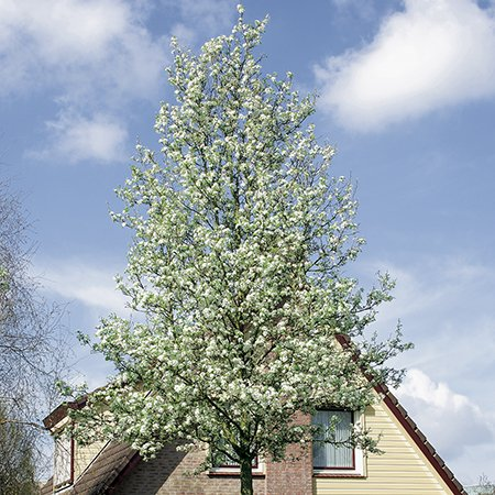 Ornamental Pear Tree - Bare Root 'Pyrus Chanticleer'