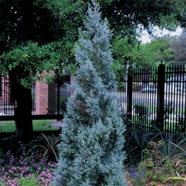 6ft Arizona Cypress Topiary Obelisk | 15L Pot