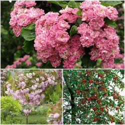 Frank P Matthews™ Spring Blossom Collection Bare Root - Double Pink Hawthorn, Prunus Kanzan and Malus 'Gorgeous'