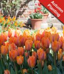 Tulip 'Prinses Irene' - 10 Bulbs