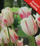 Tulip 'Sorbet' - 7 Bulbs