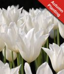 Tulip 'White Triumphator' - 7 Bulbs