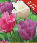 Tulip Pink/White Fringed Mix - 7 Bulbs