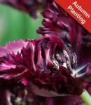 Tulip 'Black Parrot' - 7 Bulbs