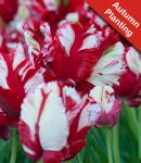 Tulip 'Estella Rijnveld' - 7 Bulbs