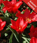Tulip ' Showwinner' - 7 Bulbs