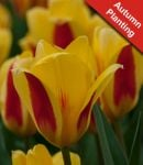 Tulip 'Stresa' - 7 Bulbs