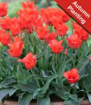Tulip 'Red Riding Hood' - 10 Bulbs