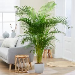 6ft Areca Palm | 24cm Pot | By Plant Theory
