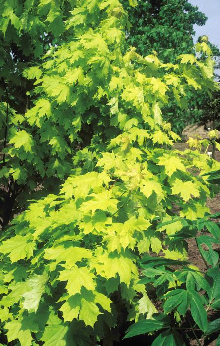 Princeton Gold ®' Maple Tree | 12L Pot | Acer platanoides /Norway Maple | By Frank P Matthews™