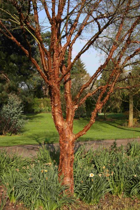 Paperbark Maple Tree | 7L Pot | Acer griseum