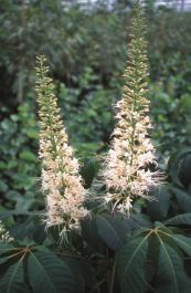5ft Bottlebrush Buckeye | 12L Pot | Aesculus parviflora | By Frank P Matthews™