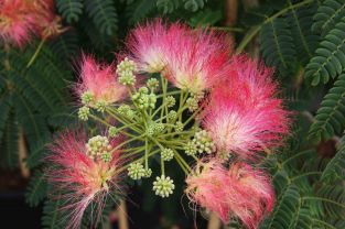 5ft Silk Tree | 12L Pot | Albizia jul Ombrella ®