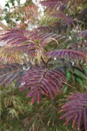 5ft Chocolate Silk Tree |12L Pot | 'Albizia jul Summer Chocolate®'
