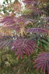 Chocolate Silk Tree 12L Pot - 'Albizia jul Summer Chocolate®'