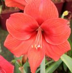 Red Lion Amaryllis - 1 Bulb