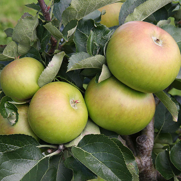 5ft 'Bramley's Seedling' Cooking Apple Tree | M26 Semi Dwarfing Rootstock | 9L Pot