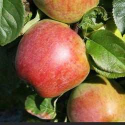 5ft 'Howgate Wonder' Cooking Apple Tree | MM106 Semi Vigorous Rootstock | Bare Root
