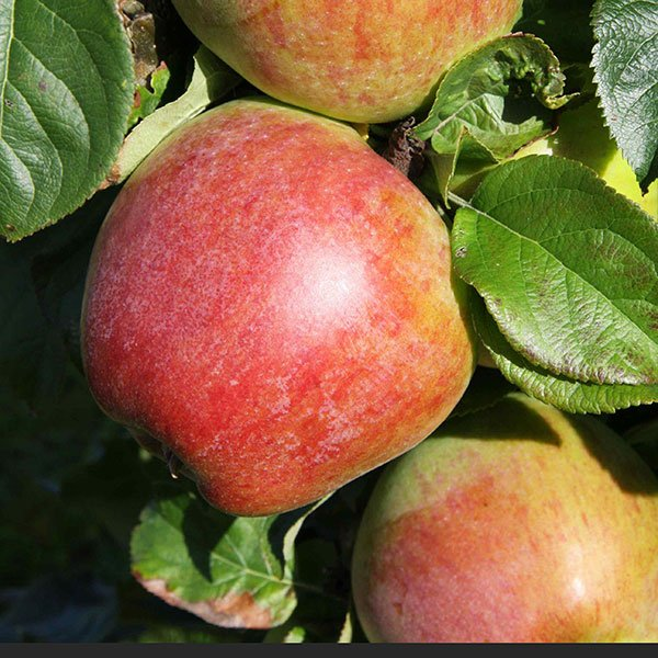 5ft 'Howgate Wonder' Cooking Apple Tree | M26 Semi Dwarfing Rootstock | 9L Pot