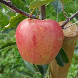5ft 'Paradice Gold® Dessert Apple Tree | MM106 Semi Vigorous Rootstock | Bare Root Bush | By Frank P Matthews™