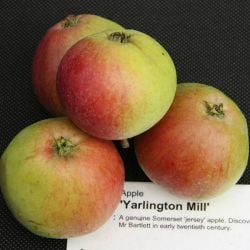 5ft 'Yarlington Mill' Cider Apple Tree | MM106 Semi Vigorous Rootstock | Bare Root | By Frank P Matthews™