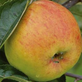 5ft 'Blenheim Orange' Dessert Apple Tree | M26 Semi Dwarfing Rootstock | 9L Pot