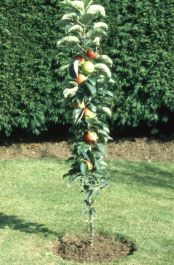 5ft 'Ballerina Flamenco® Dessert Apple Tree | MM106 Semi Vigorous Rootstock | 12L Pot | By Frank P Matthews™