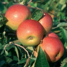 5ft 'Laxton's Superb' Dessert Apple Tree | MM106 Semi Vigorous Rootstock | Bare Root