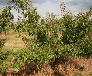 5ft 'Kioto Apricot Tree | SJA Semi Vigorous Rootstock  | 12L Pot | By Frank P Matthews™