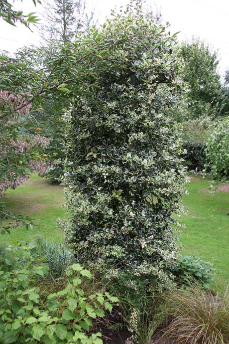 4ft Silver Margined Holly | 7L Pot | Ilex aquifolium 'Argentea Marginata'