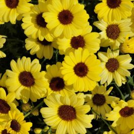Argyranthemum 'Grandaisy™ Bright Yellow' | Pack of 15 Plug Plants