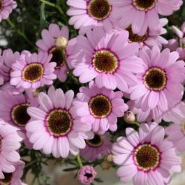 Argyranthemum 'Grandaisy™ Pink Halo' | Pack of 5 Plug Plants