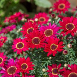 Argyranthemum 'Grandaisy™ Red' | Pack of 15 Plug Plants