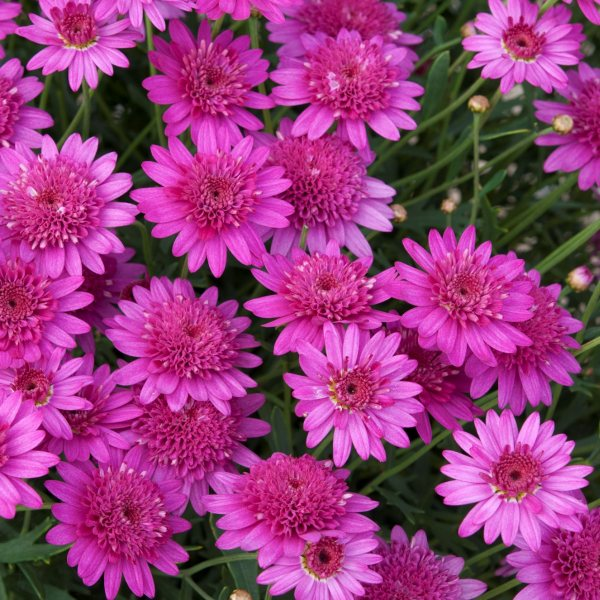 Argyranthemum 'Madeira™ Crested Hot Pink' | Pack of 5 Plug Plants