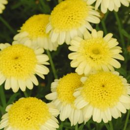 Argyranthemum 'Maderia™ Crested Yellow' | Pack of 5 Plug Plants