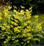 Dog's-Tooth Violet Erythronium 'Pagoda' - 1 x Pack of 5 Bulbs