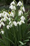 Common Snowdrop - Galanthus Nivalis - 1 x Pack of 50 Bulbs