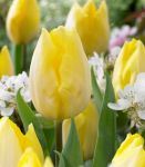 Tulip Sunny Prince - Tulipa  - 1 x Pack of 20 Bulbs