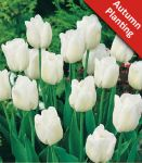 Tulip 'Triumph White' - 25 Flower Bulbs