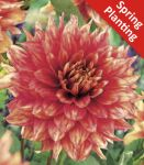 Dahlia 'Dazzling Magic' - 1 Flower Bulb