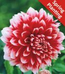 Dahlia 'Red and White Fubuki' - 1 Flower Bulb